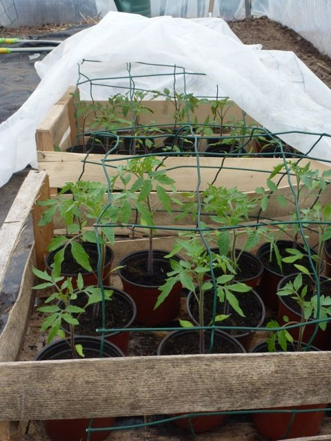 photo futurs plants de tomates