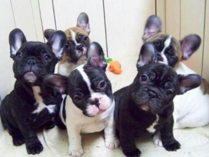 Best Frenchies And Some Bullies Images On Pinterest French - Ivette ivens baby bulldog