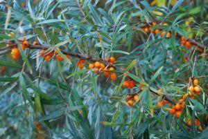 Havtorn - sølvgrønne blade, torne og gule bær.