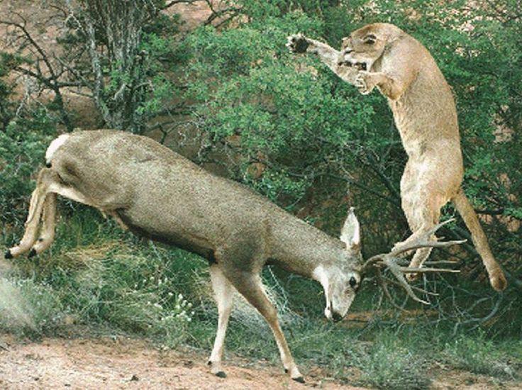 Mountain Lion Attacking a Mule Deer | HuntDrop