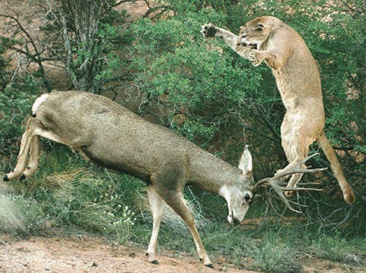Mountain Lion Attacking a Mule Deer | HuntDrop