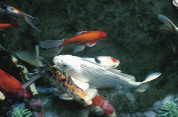 21 best water gardens images on pinterest small water for Small koi fish care