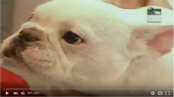 О французских бульдогах видео - http://dogcat.yworld.ru/francuzskie-buldogi/o-francuzskij-buldogax-video.html