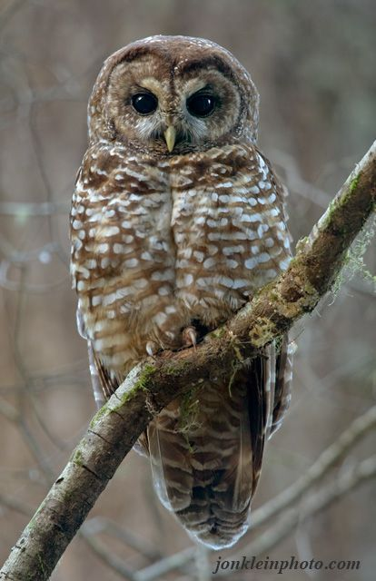 The Spotted owl (Strix occidentalis) is one of 4 species of owls with dark eyes. Description from pinterest.com. I searched for this on bing.com/images