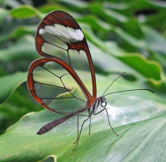 Simply a wonderful creation!! The Glasswing Butterfly. Transparent wings - rare and beautiful. Living in the rainforest.
