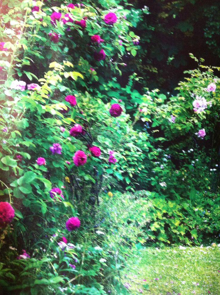 Rosebusker