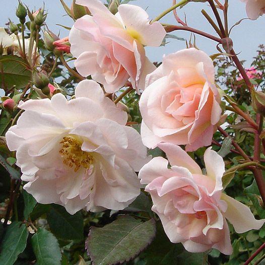 姫野 バラ 園 バラの小さな庭づくり アイデアとテクニック 姫野