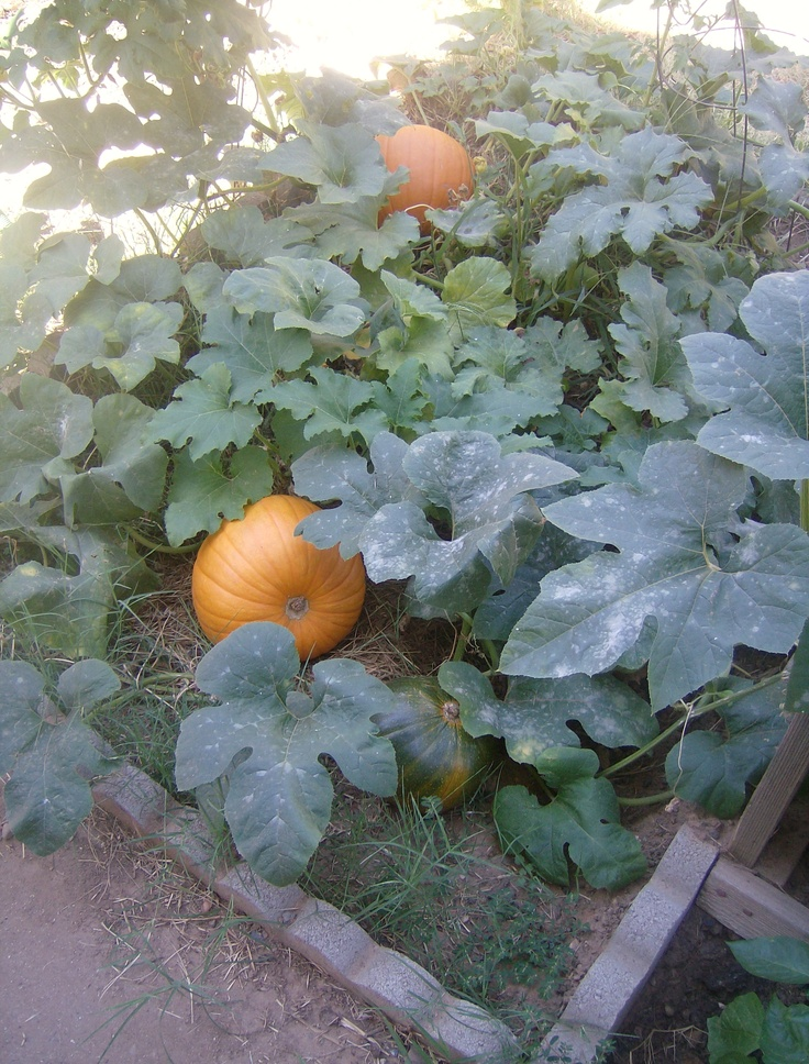 80 best images about fruits trees and vegetable gardens on for Best pumpkins to grow