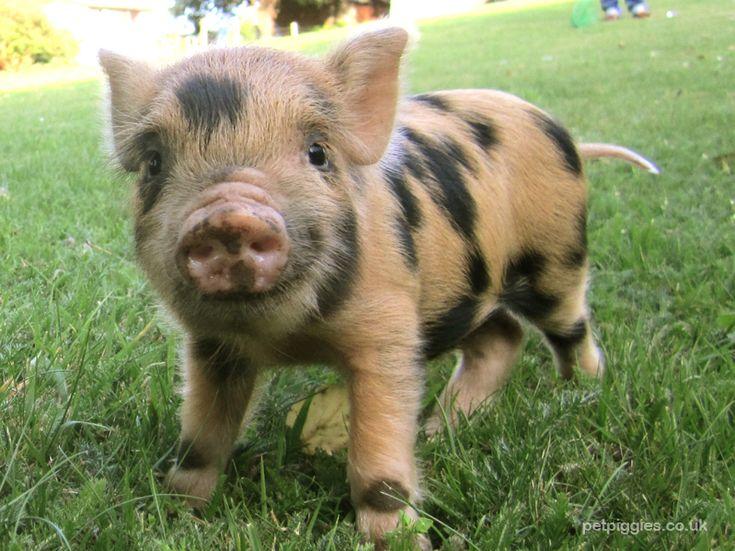 芝生の上でこちらを見つめる豚の赤ちゃん