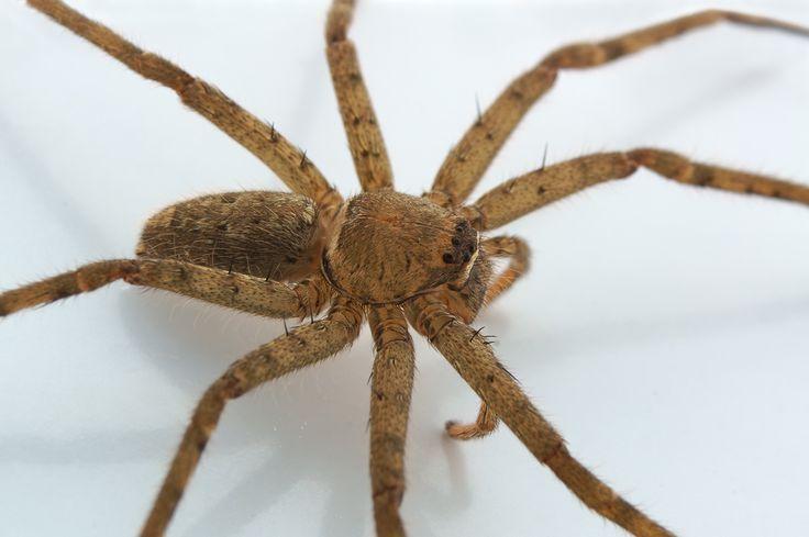 Riesenkrabbenspinnen