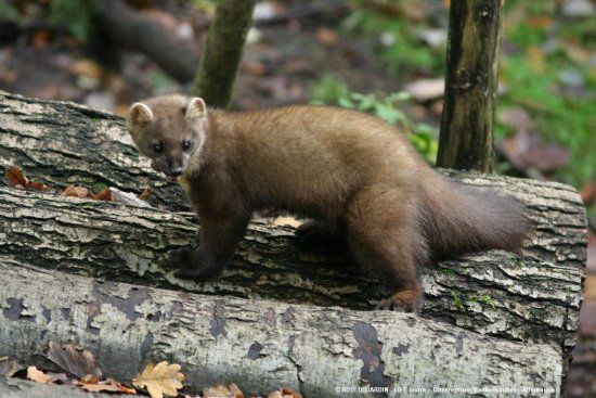 La martre     Appartenant également à la famille des Mustélidés, la martre fréquente les milieux forestiers