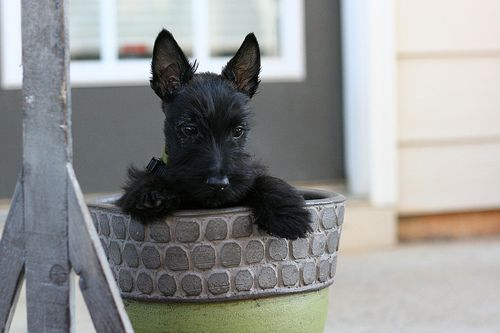 Happiness IS a Scottie Dog.