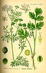 farmacia naturala: coriandru planta medicinala-cilantro herb