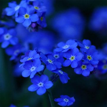 100Pcs Blue Evening Primrose Seeds Rare Garden Fragrant Flower Bonsai Seeds