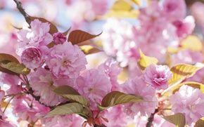 Обои красота, сакура, цветение, весна, розовый