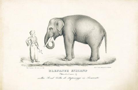 #Fritz, #elefante di #Stupinigi. Litografia di Felice Festa (1827)