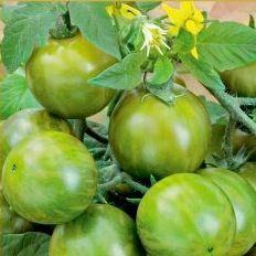 Tomatplantor Green Zebra