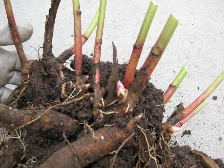 "The pink notch jutting out is the growth node of a peony.  ""It is very important that the 'eyes', or growth nodes, located near the base of the old stem, end up no more than 2"" below the soil surface. If the peony root is positioned deeper than this, the plant may grow well, but it will produce few, if any, blooms."""