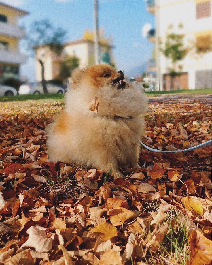 #pomeranian #poms #puppy #pomerania #spitz