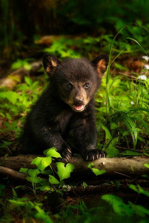 Bear Cub's First Spring