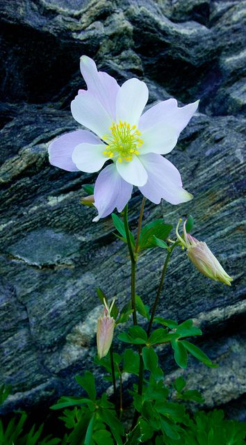 Que tu vida sea como una flor silvestre, crece libremente en la belleza y la alegría de cada día! ~ Proverbio Del Nativo Americano May your life be like a wildflower, growing freely in the beauty and joy of each day! ~ Native American Proverb Wildflower Columbine in Rocks