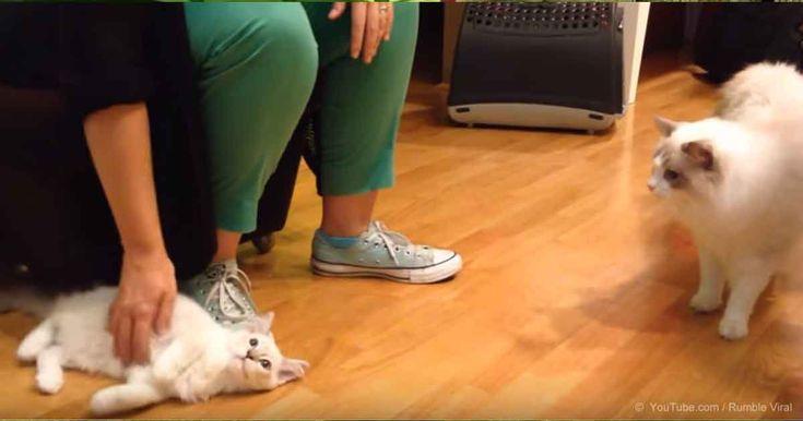 El gato de la casa llamado Luigi conoce al nuevo miembro de la familia, Jeremy. A los dos pequeños les tomo solo cinco días para convertirse mejores amigo y dormir abrazados todos los días. ¿Cuál es la mejor manera de introducir la nuevo miembro de tu familia a los atrás mascotas de la casa? https://mascotas.mercola.com/sitios/mascotas/archivo/2017/11/30/el-gatito-de-la-casa-conoce-al-nuevo-miembro-de-la familia
