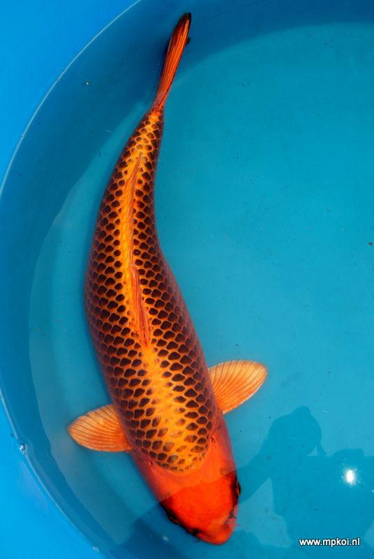 17 best images about koi on pinterest for Koi carp pond size