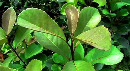 Outro componete do café Marita. A Erva Mate A Erva Mate também é conhecida como MATE, sendo comercializada como CHÁ MATE, Seu  é utilizada no Brasil consumida como Chá, Tereré ou Chimarrão.  A ERVA MATE é muito cultivada nas regiões do Sul do Brasil.Possui: cafeína, teofilina, teobromina, ácidos fólicos, taninos, e vitaminas A,B1, B2, C e E, e por isso atua comoantioxidante, diurético, laxante suave, estimulante e afrodisíaco.    Erva mate Erva mate aromatiza o Café Marita