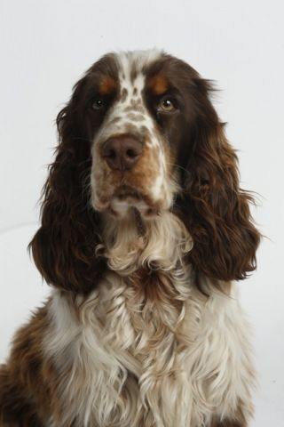 from Midsomer's Lodge Engelse Cocker Spaniels Bentley. Wat een stuk!!!