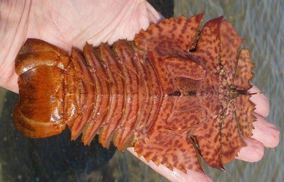 Balmain bugs are an Australian, lobster type seafood
