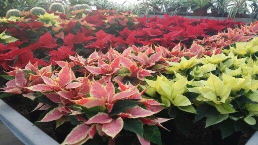 Stelle di Natale montecchio emilia coltivate in vivaio