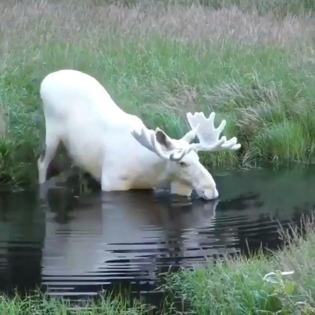 Rare white moose ♥️❤️