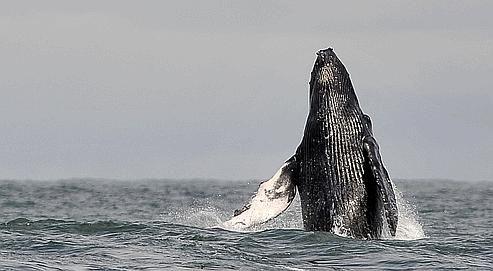 Une baleine à bosse a effectué la plus longue migration jamais enregistrée à ce jour par un mammifère (Biology Letters, 13 octobre 2010). Une femelle qui avait été observée et photographiée au large des côtes brésiliennes, à la latitude de Recife, a été repérée deux ans plus tard sur la côte est de Madagascar. Elle avait parcouru près de 10.000 kilomètres. Un record absolu.