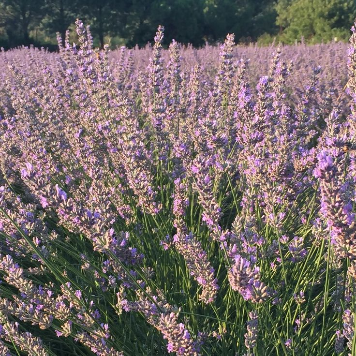 Lavender Blossom! Fully organic, no chemicals, full of buzzword no bees...