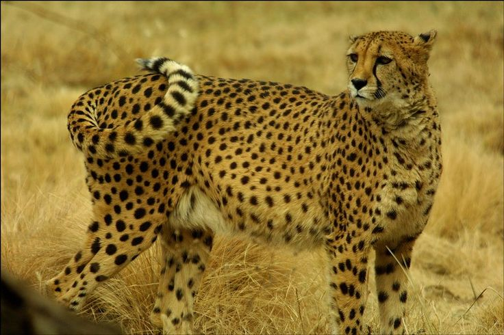 cheetahs with photos | license this photo complete information on licensing for editorial ...