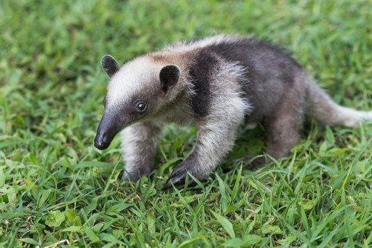 Baby anteater! | mammals | Pinterest | Babies