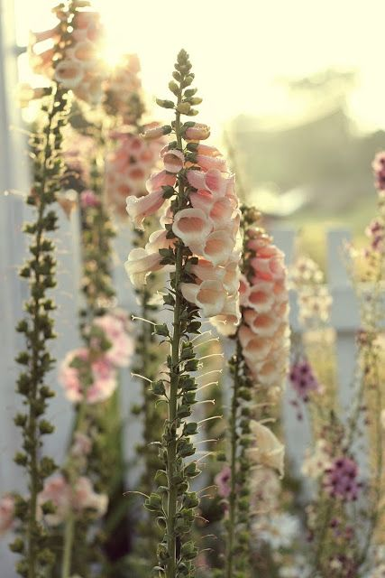 Pale Pink Foxgloves (Digitalis)