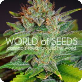 Skunk 47 - strain - World of Seeds | Cannapedia