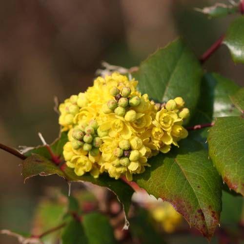 Mahonia aquifolium Maónia