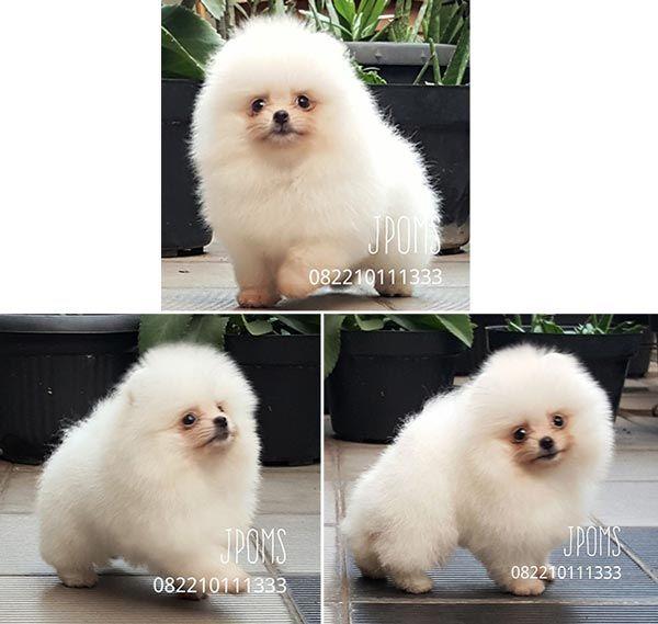 Jual White Pomeranian Puppy