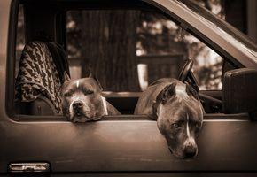 Обои winnipeg, Машина, собаки, manitoba, питбули