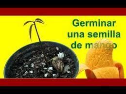 Resultado de imagen para como sembrar aguacate por semilla