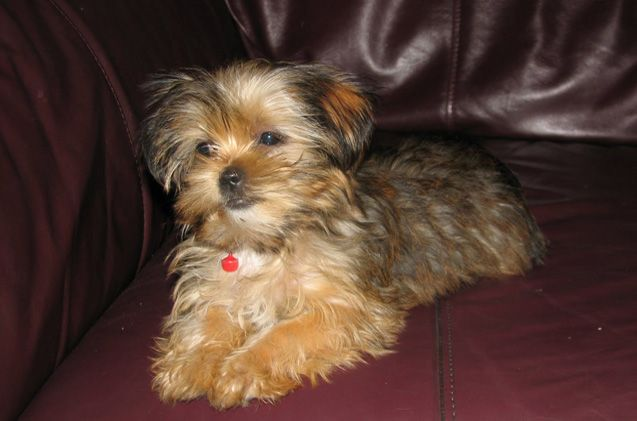 With the attitude of a giant breed dog, the Shorkie has no clue that he is a small guy. He is a dedicated, loyal and loving companion that will bark his fool head off to let his owners know that someone is approaching. Although he will never be a guard dog, the Shorkie makes an [...]