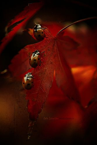 Ladybugs on Red Leaves - OOOO! Imagine this as a jigsaw puzzle!