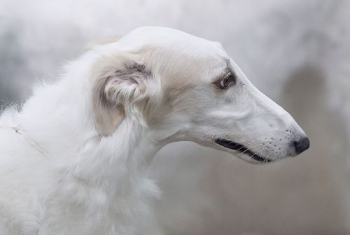 another beautiful sight hound ~ the borzoi ~ russian cousin to the greyhound