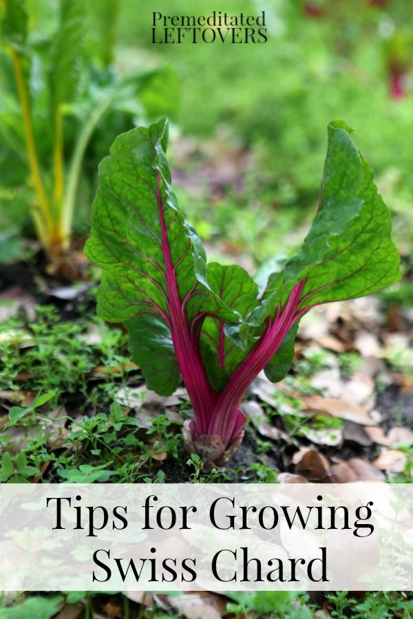 Plant List   Techniques   Tips For Growing Swiss Chard In Your Garden   How  To Grow Swiss Chard From Seed, How To Transplant Swiss Chard Sprouts U0026 When  To ...