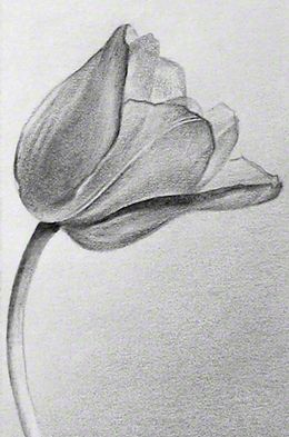 Pencil Drawings Of Tulips                                                       …