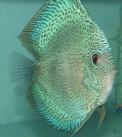 Discusdeliveryusa Com Discus Fish Fish Under The Sea Discus Aquarium