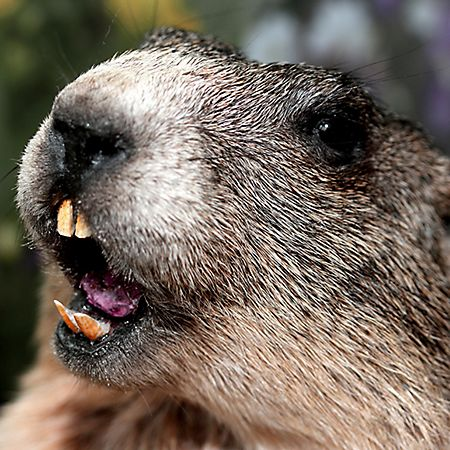 17 Best images about Groundhog Day - February 2nd on ...  17 Best images ...