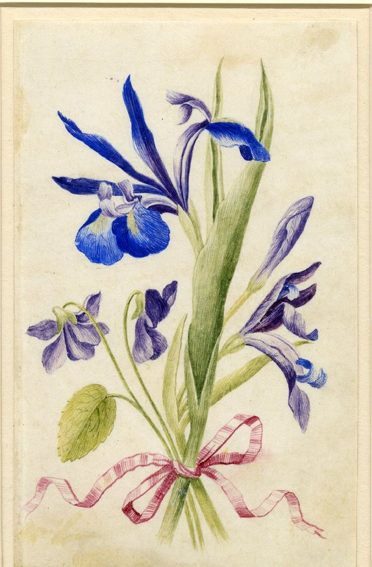 Drawing from an album, purple and blue Irises, and violets, tied with pink ribbon. Watercolour over metalpoint, on vellum. From Alexander Marshal's Florilegium.